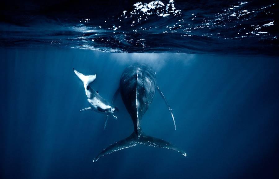 Новорожденные киты в водах Тихого океана