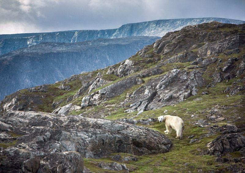 Одинокий белый медведь скучает по зиме