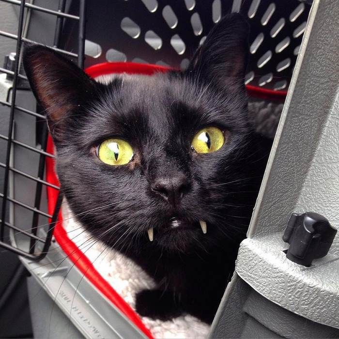 Саблезубый кот Манки из Нью-Йорка