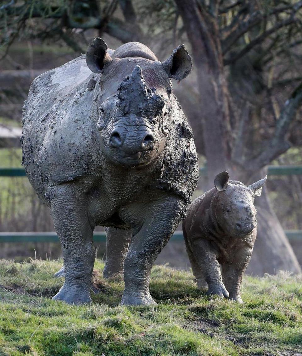 Детеныш носорога резвится в грязи