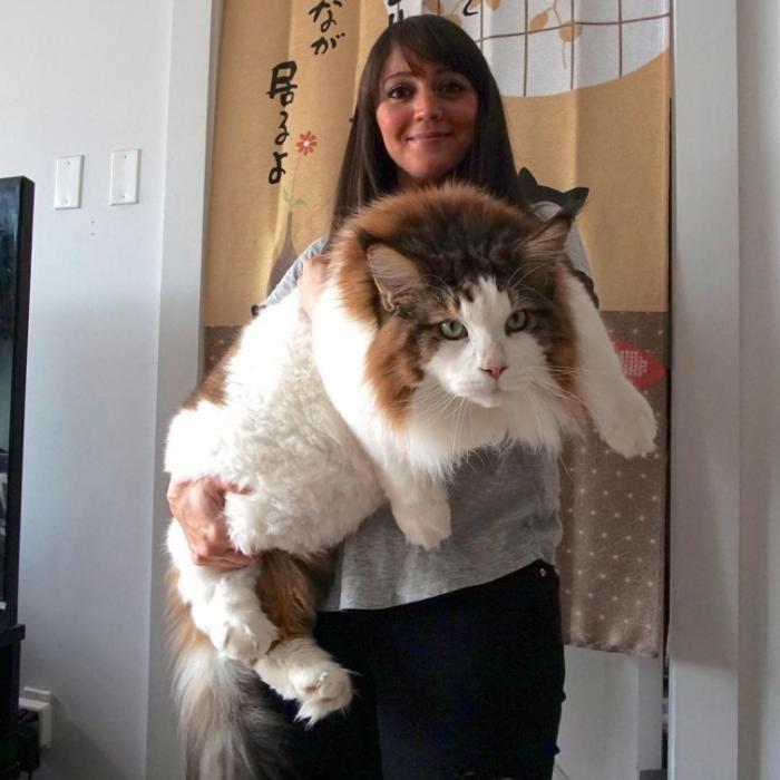 Самсон — большой кот из Нью-Йорка весом почти 13 килограмм
