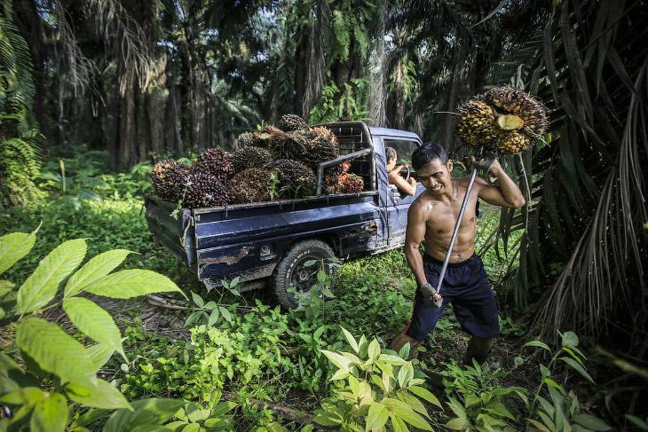 Как делают пальмовое масло