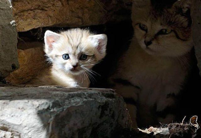 Котенок песчаной кошки