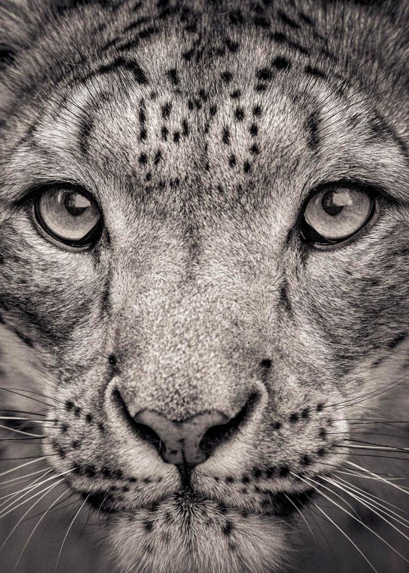 Портреты исчезающих больших кошек