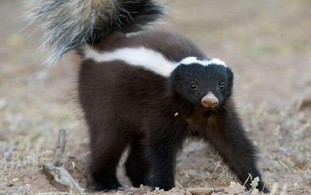 Самые плохопахнущие представители животного мира