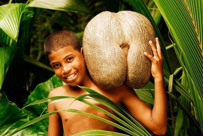 Коко-де-мер — самый необычный кокос