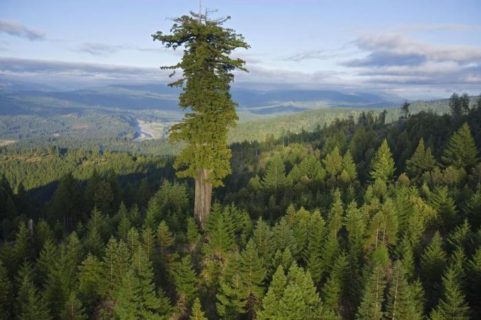 10 самых больших деревьев планеты