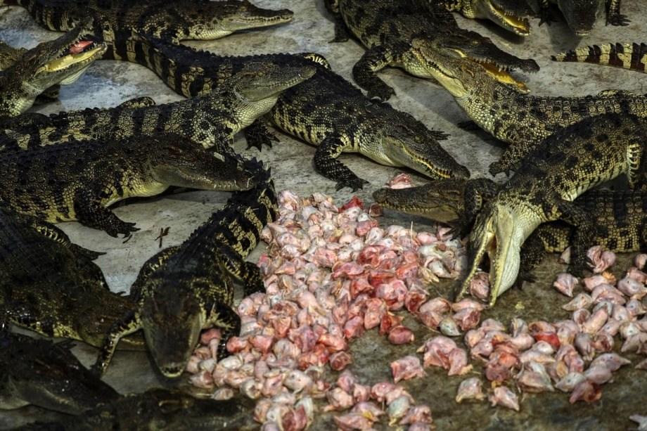 Фермы по выращиванию крокодилов в Таиланде