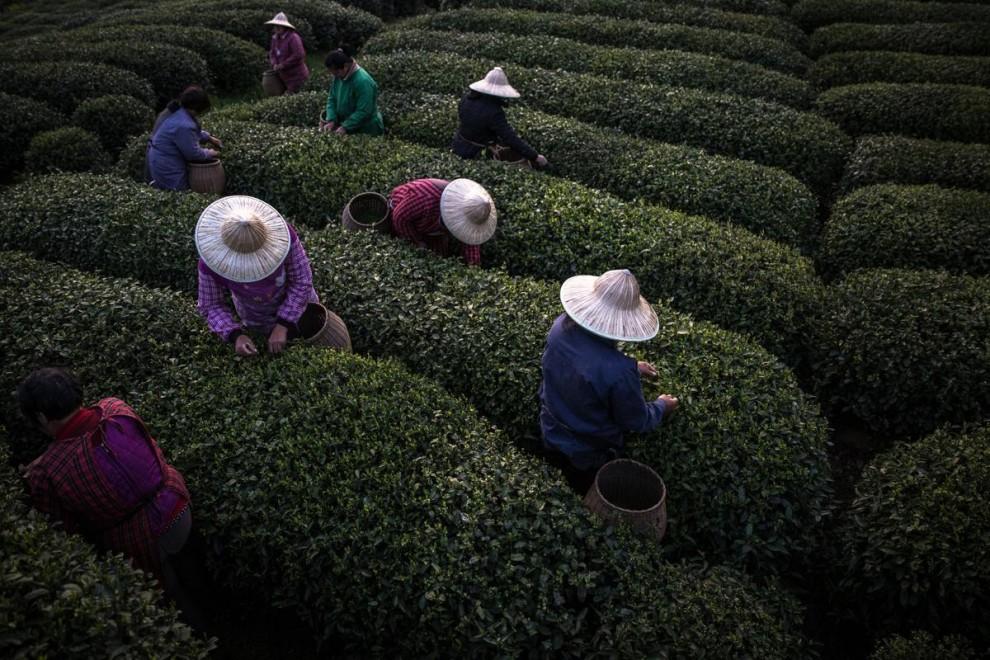 Где производят каждую четвертую чашку чая в мире