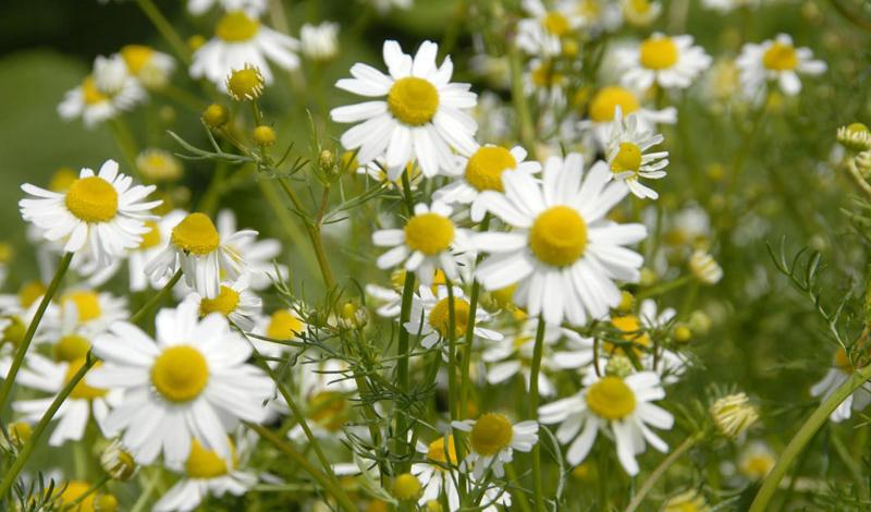 Природные антисептики: рецепты народной медицины
