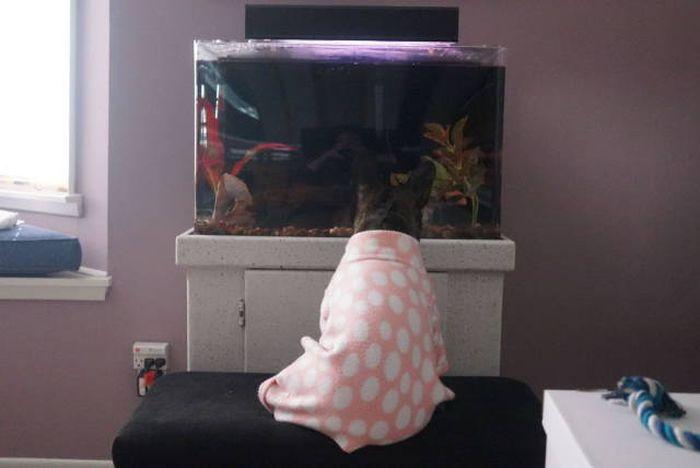 Французский бульдог и аквариум