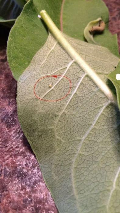 Жизненный цикл бабочки монарха