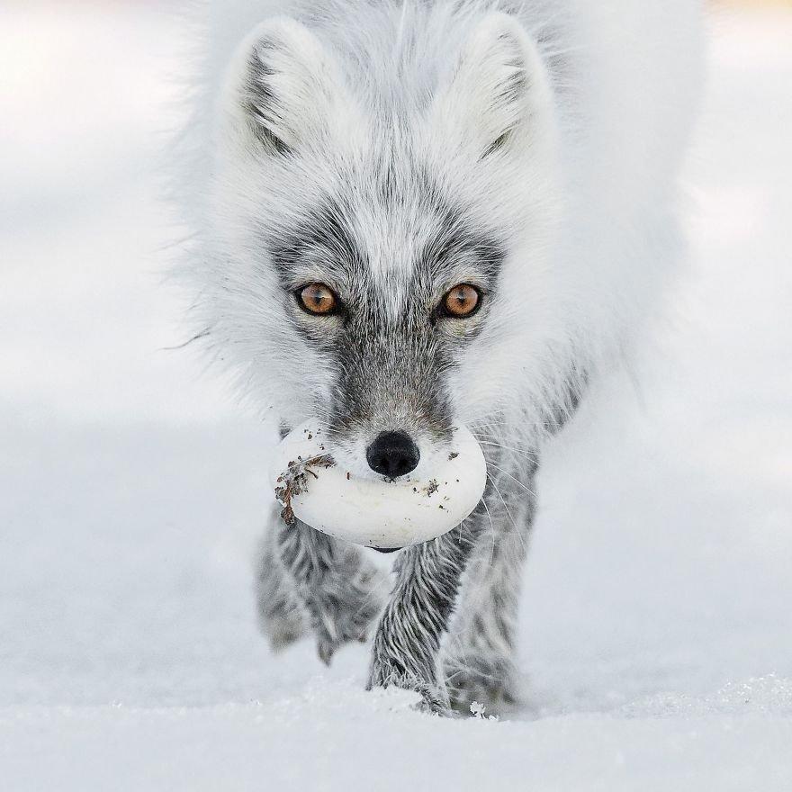Финалисты фотоконкурса Wildlife Photographer of the Year 2017