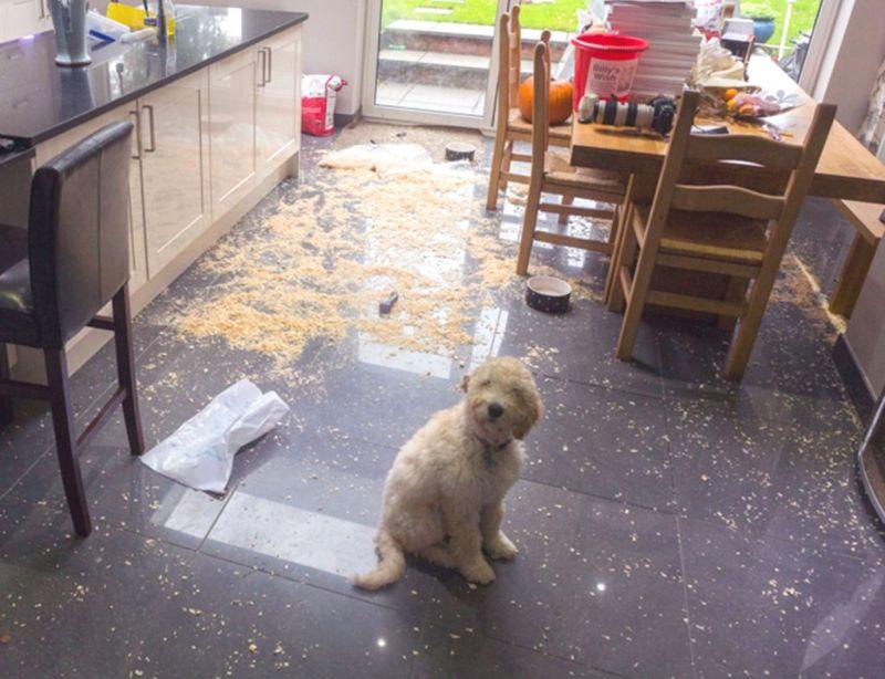 Невинная морда регулярно спасает собаку от заслуженного наказания