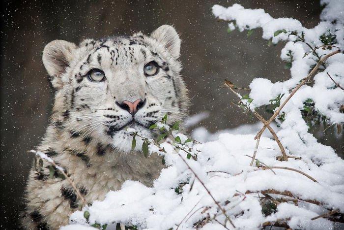 Снежные барсы больше не находятся под угрозой исчезновения