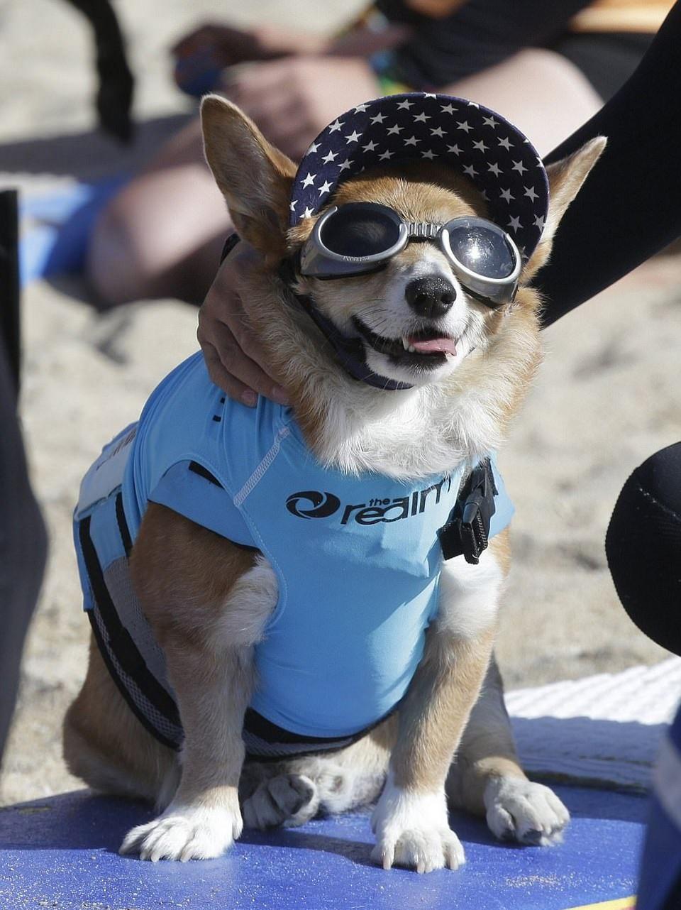 Соревнования по серфингу среди собак в Калифорнии 2017