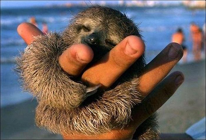 17 удивительных фактов о ленивцах