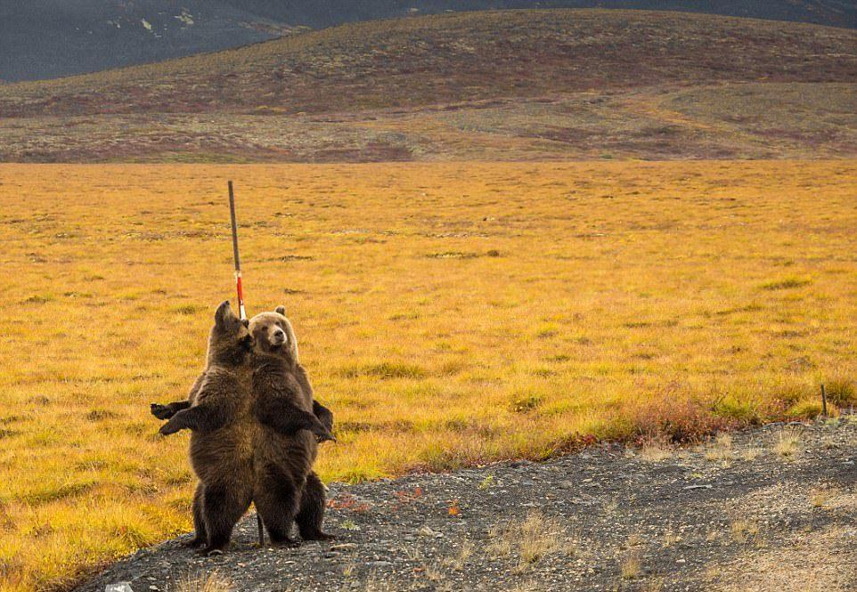 Медведи чешут спины о придорожный металлический шест
