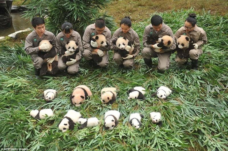 Настоящий бэби-бум у панд в Китае