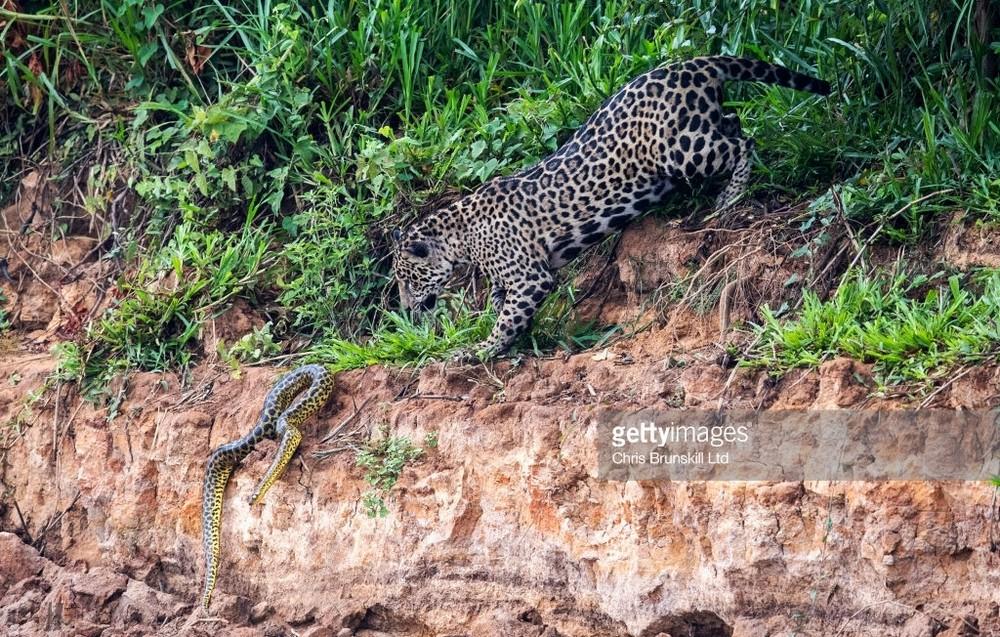 Ягуар завалил анаконду