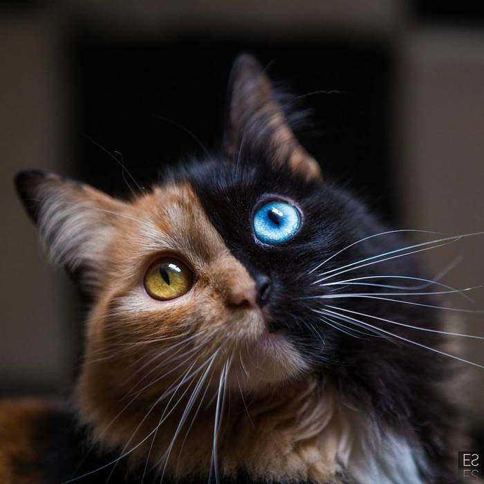 Двуликая кошка-химера с разноцветными глазами
