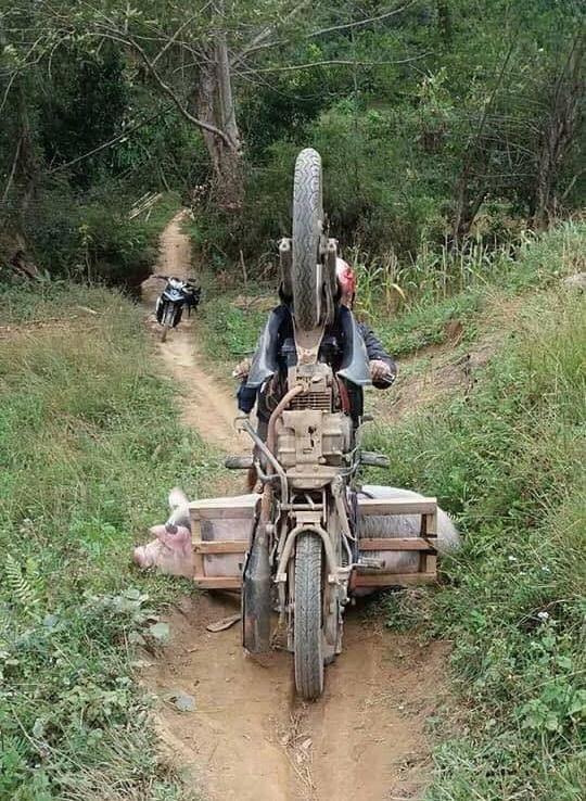Неудачная попытка перевозки хряка на скутере