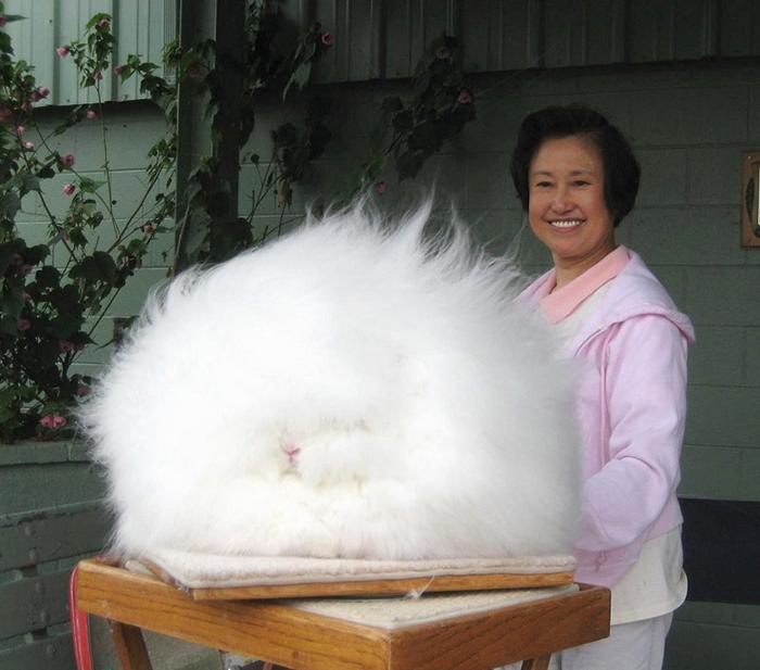 Ангорские кролики — рекордсмены пушистости