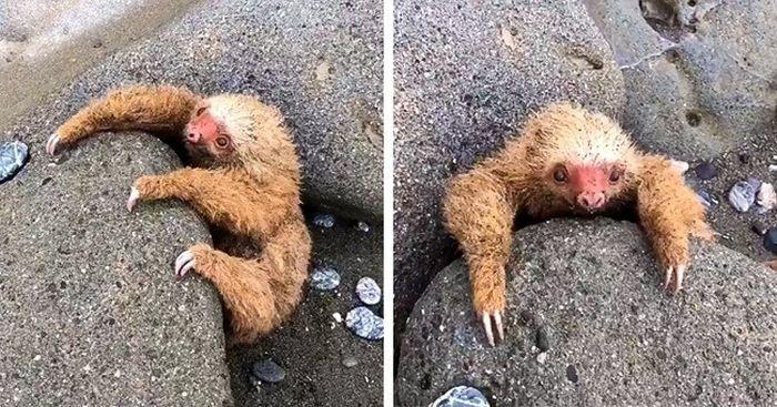 Ленивец застрял между камней во время отлива