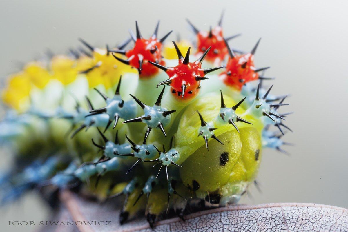 Красота уникальных гусениц от Игоря Сивановича