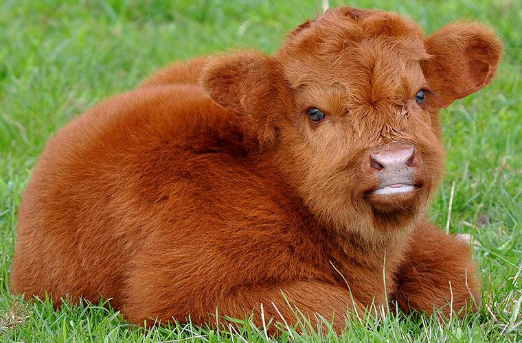 Вся правда о плюшевых коровах
