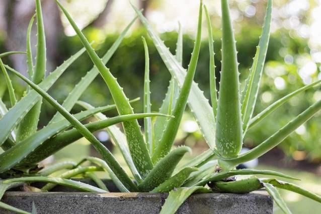 10 растений, которые активно выделяют кислород в ночное время