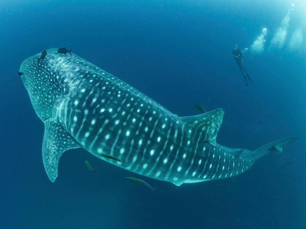 Устроим заплыв с китовой акулой