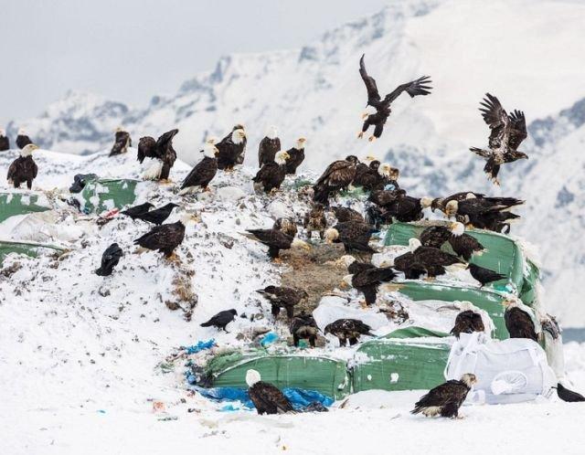 Белоголовые орланы — бич города Уналашка на Аляске