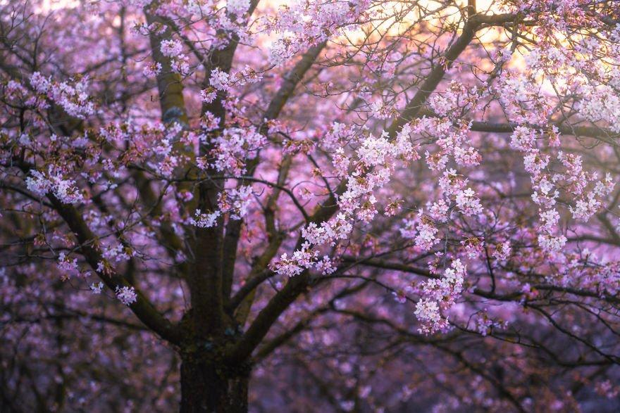 Цветущая вишня в Амстердаме