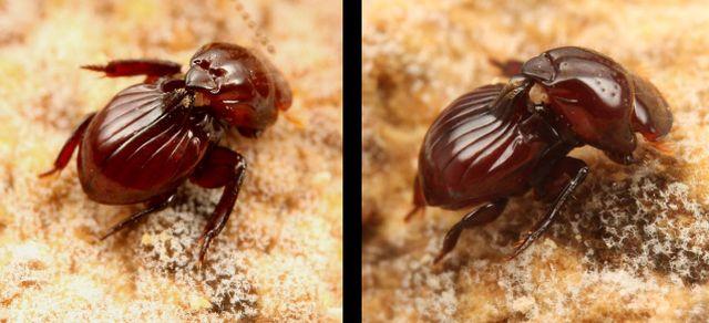 Eocorythoderus incredibilis — жук, которого носят термиты