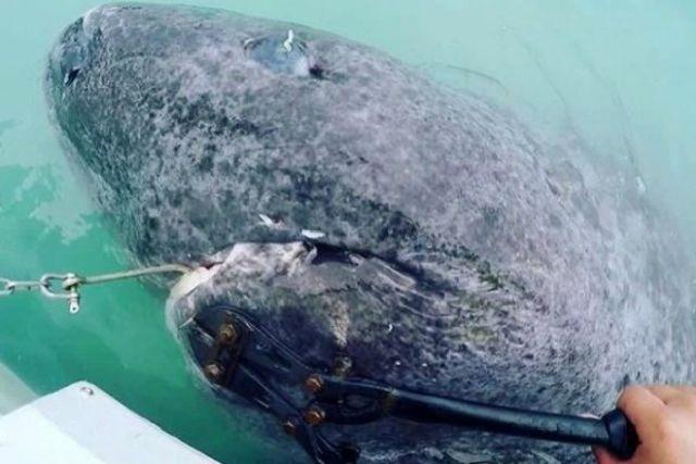 Гренландская акула оказалась старейшим позвоночным на планете