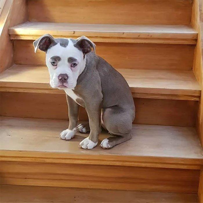 Самая грустно выглядящая собака Мадам Брови