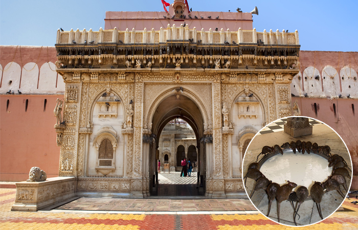 Индийский храм Карни Мата, где поклоняются живым крысам