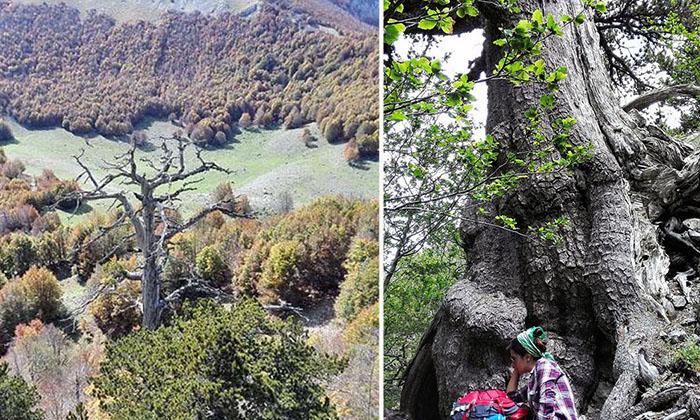 Как выглядит самое старое дерево в Европе