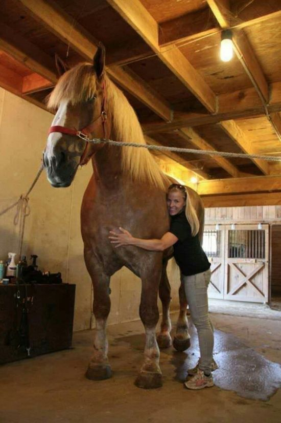 Большой Джейк — самая высокая лошадь в мире