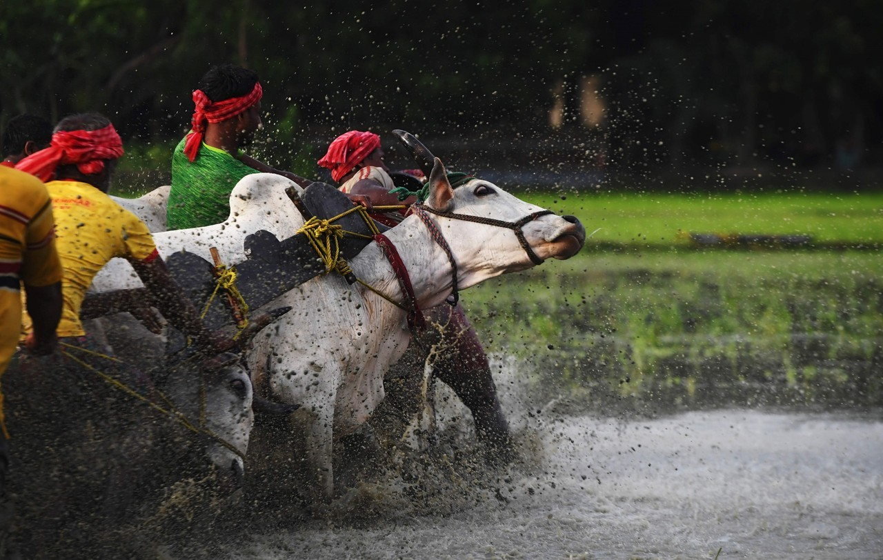 Гонки на быках в Индии