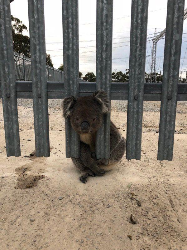 Коала уже не в первый раз застряла головой в заборе