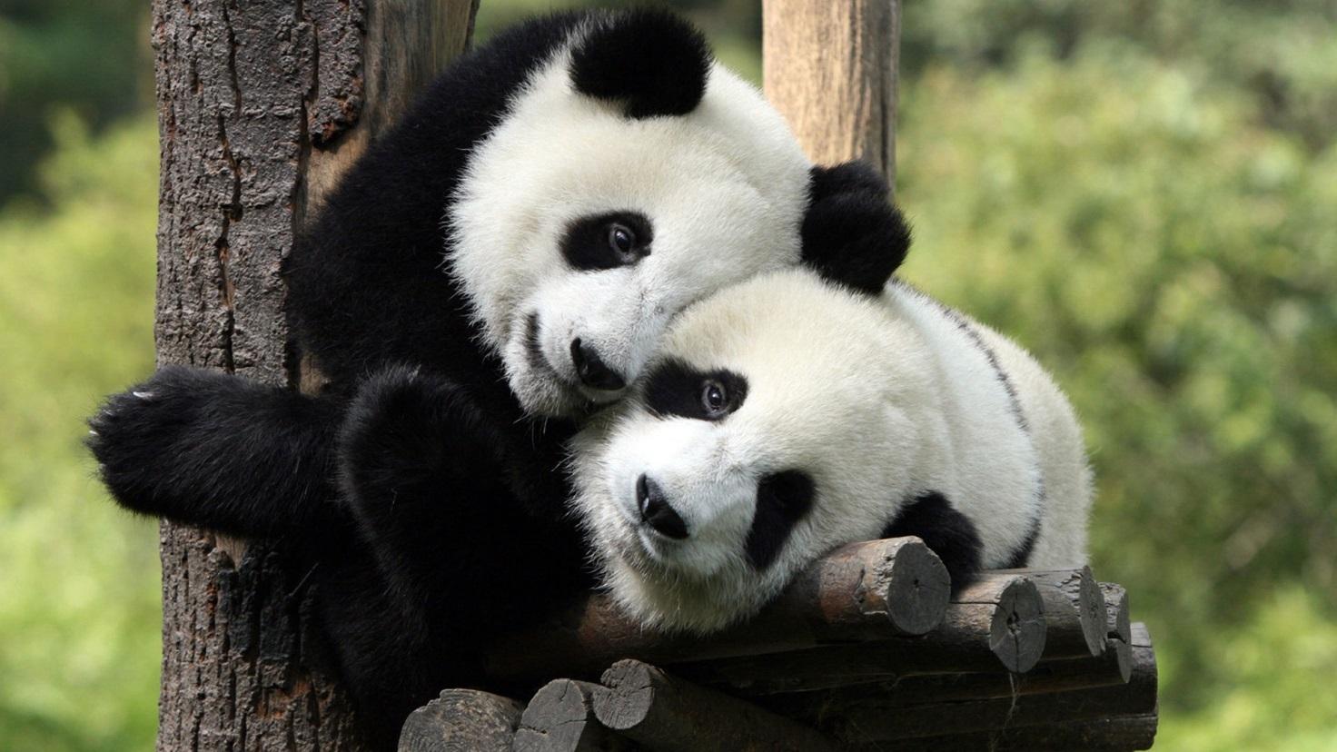 «Невероятно милое и удивительно интересное животное», или кто же выступает Драгоценностью Китая?