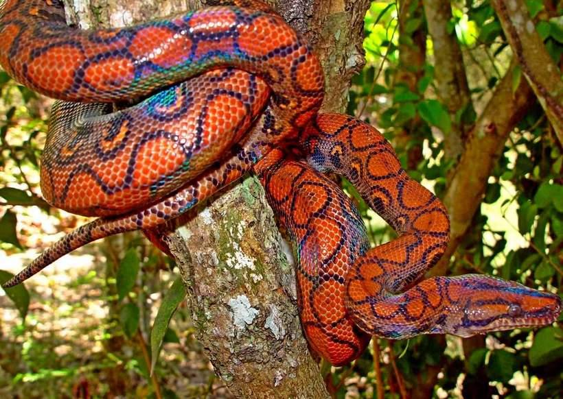 Радужный удав — самая красивая змея в мире