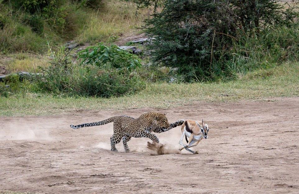 Стремительная охота самки леопарда на газель