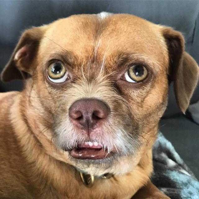 Забавный пес по кличке Бекон с необычной мимикой