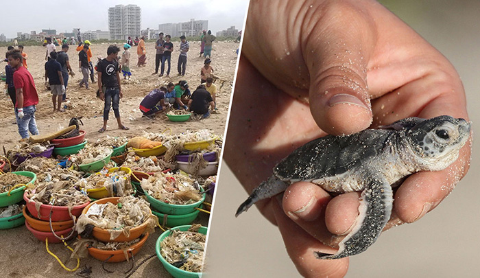 С пляжа в Индии убрали 5000 тонн мусора, чтобы спасти черепах