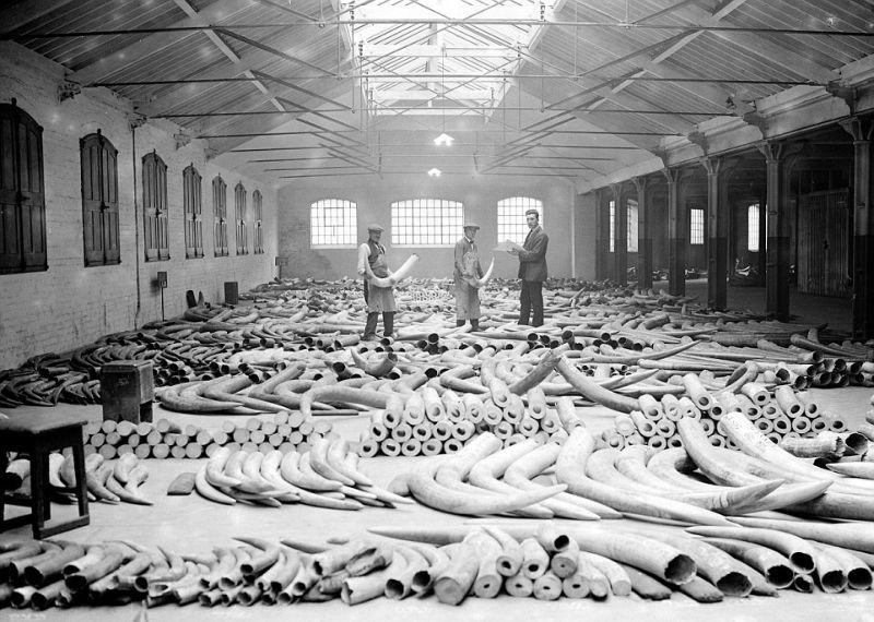 Слоновьи бивни, доставленные в Лондон в 1920-х годах