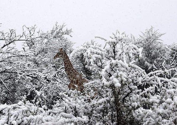 В Африке жирафов, слонов и антилоп замело снегом