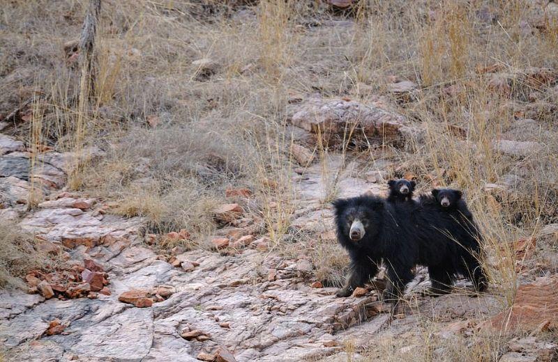 Медведица дала отпор тиграм, защищая своих медвежат